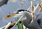 A blue heron fishing at Juanita Bay Park in Kirkland | Bellevue/Eastside Photo Gallery